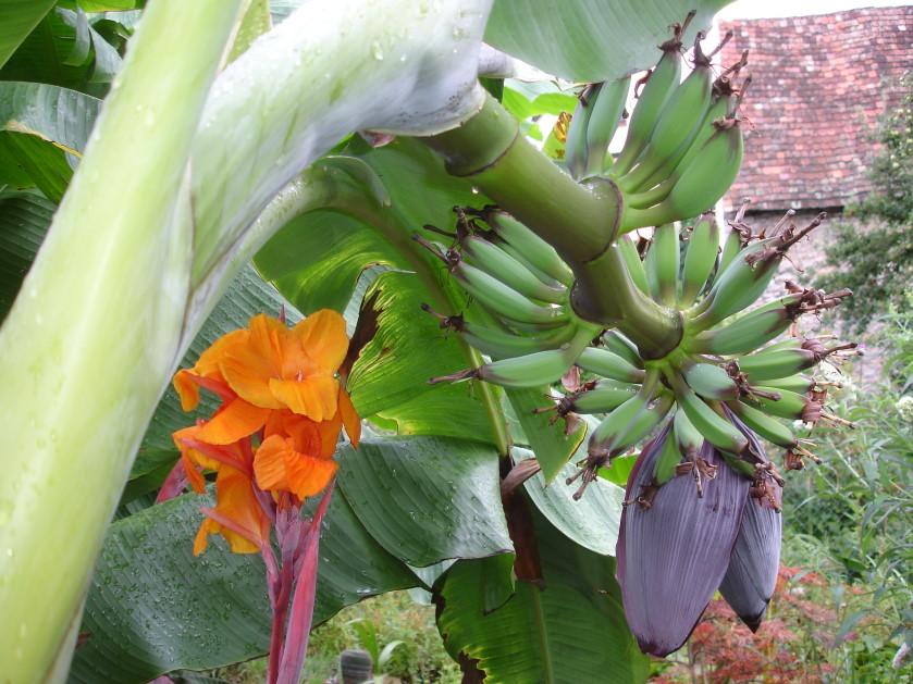 bananen im garten foto bild pflanzen pilze flechten fr chte und beeren natur bilder auf. Black Bedroom Furniture Sets. Home Design Ideas