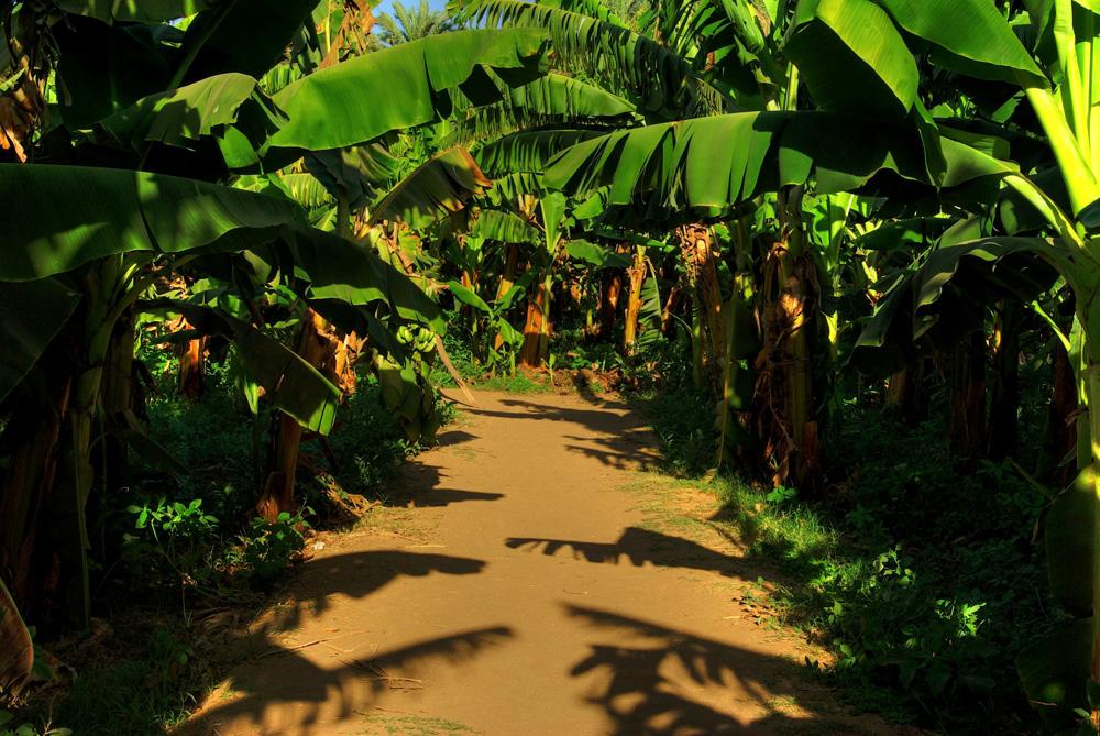 Bananen- Plantage