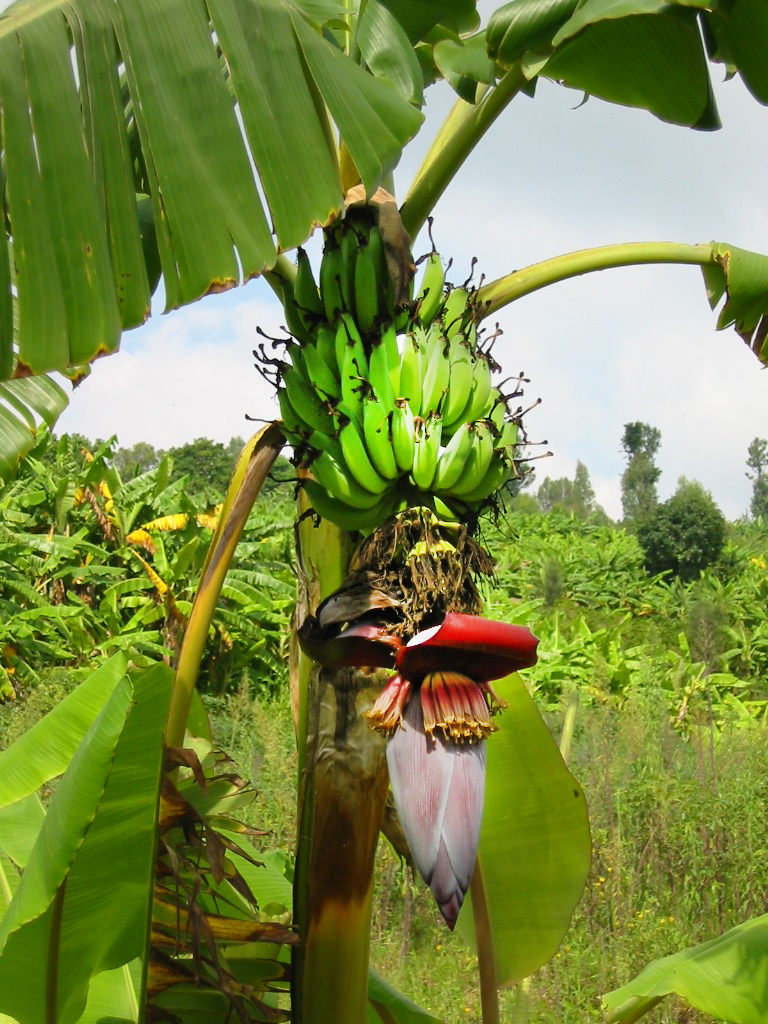 Bananenbaum in Ruanda/ Zentralafrika