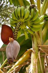 Bananenblüte und Bananen