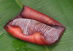 Bananenblütenhülse