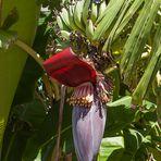 Bananenblütenstand