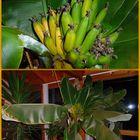 -Bananen...ernte frisch-