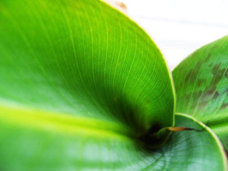 Bananenpflanze. : )