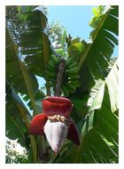 Bananenpflanze auf Madeira