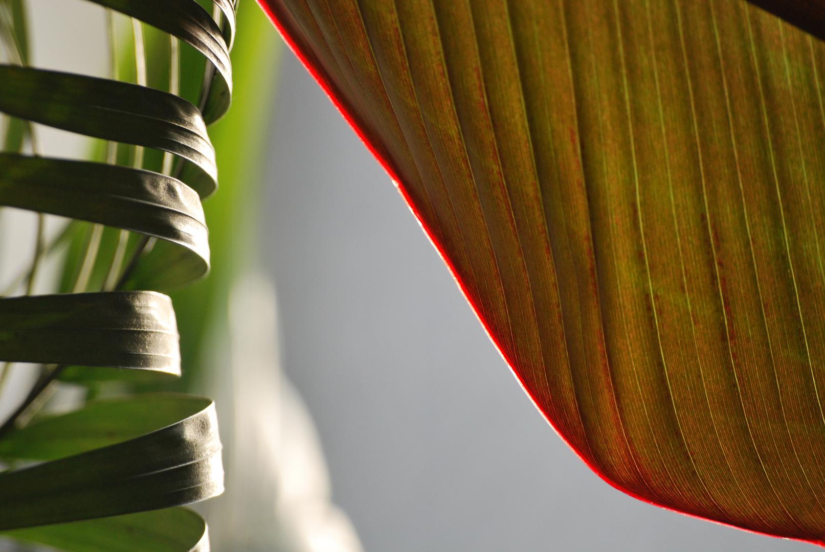 Bananenpflanze Red Tiger