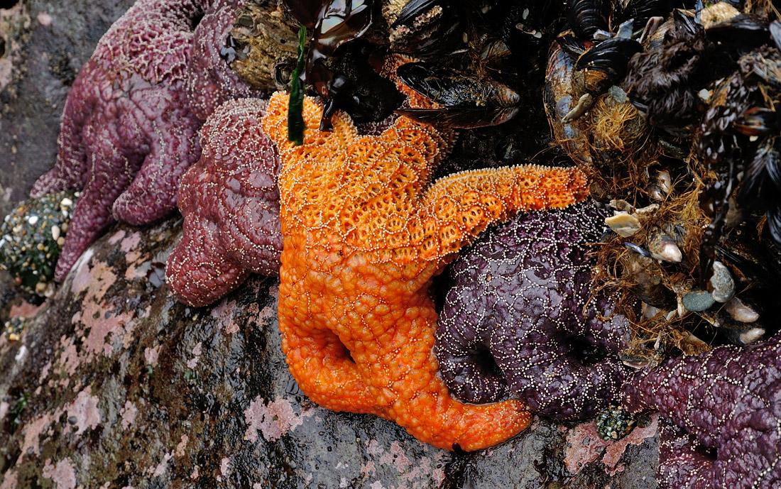 Bandon Beach Starfish