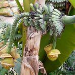 Banenstaude mit Blüten und Früchten