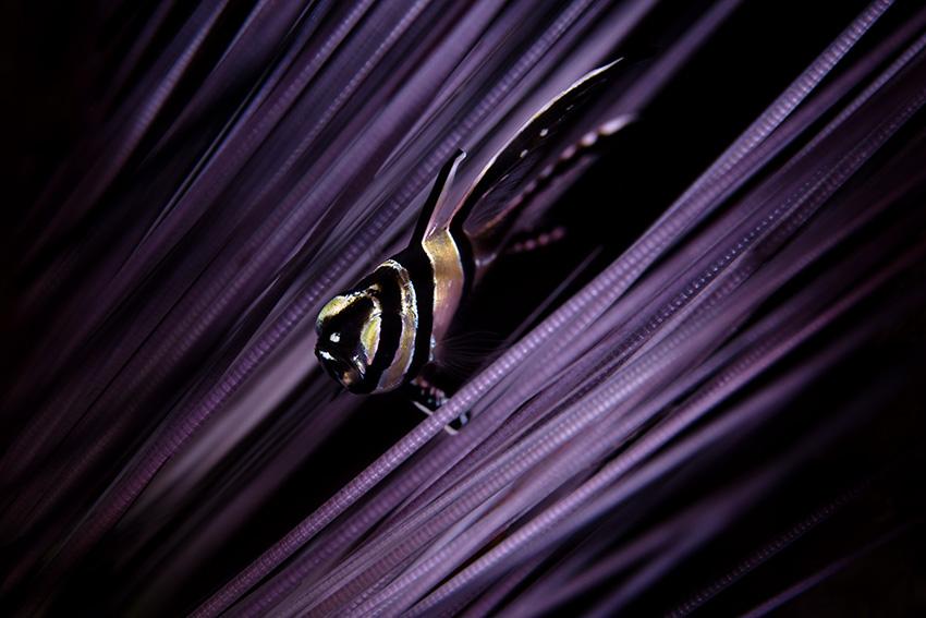 Banggai Kardinalfisch | juvenil
