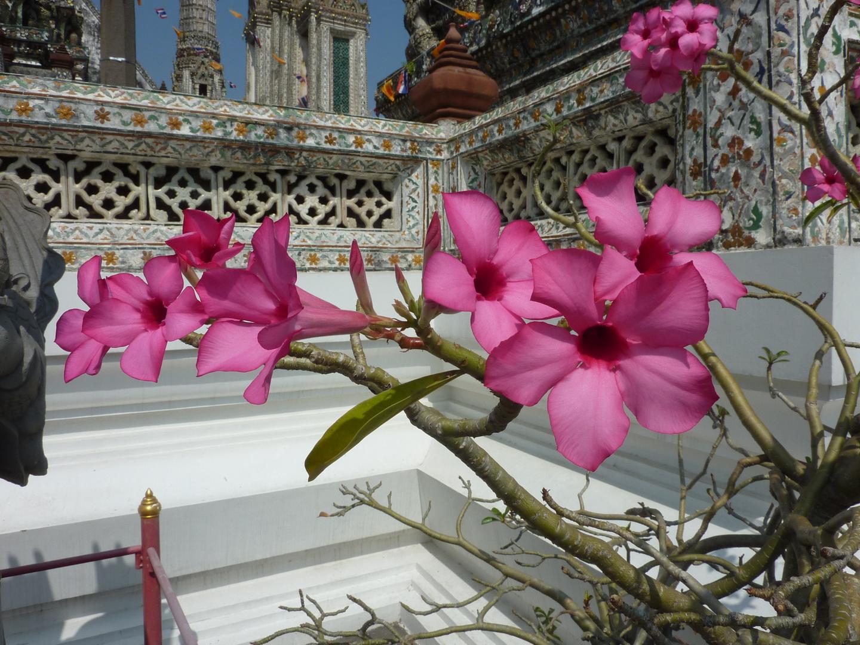 Bangkok, Wat Arun, Frangipani