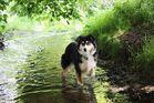 Banu Australian Shepherd Black Tri im Wasser
