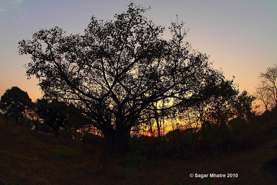 Banyan Tree Sillhoutte with fish eye lens