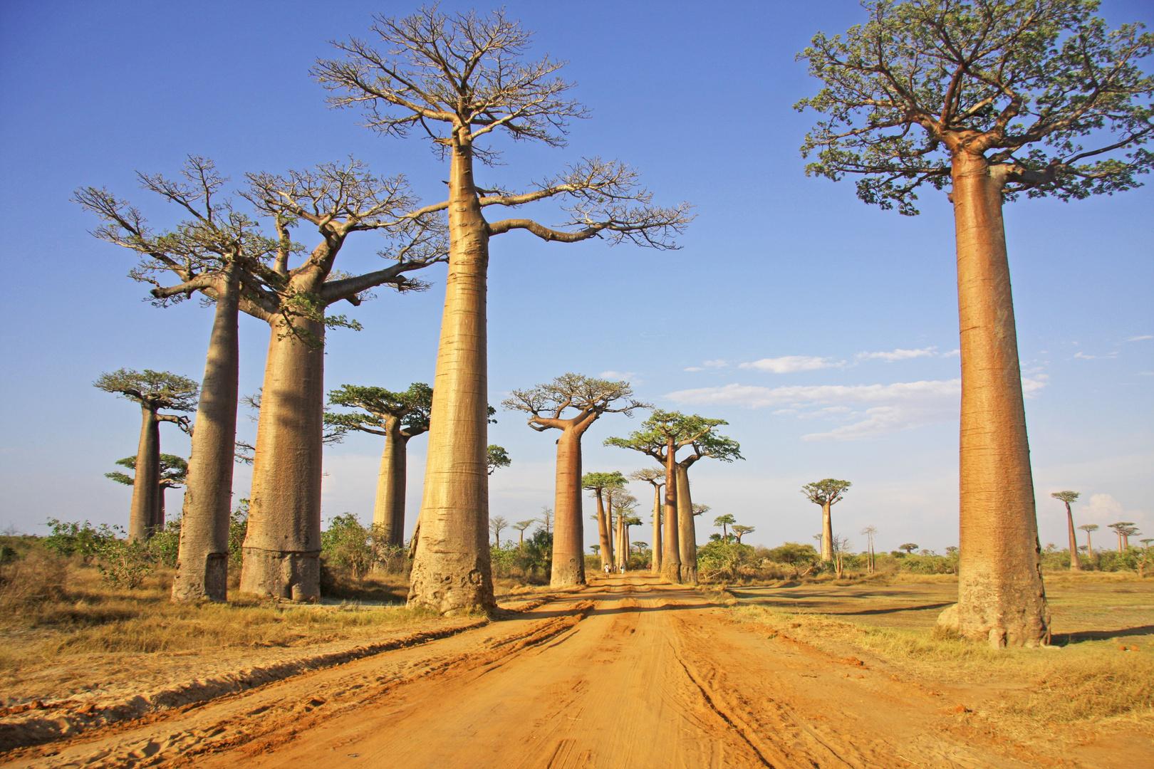 Baobab Allee 7