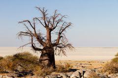 Baobab auf Kubu Island, Botswana