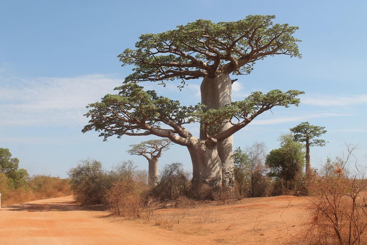 baobab baum adansonia grandidieri foto bild affenbrotbaum baobab baobabs bilder auf. Black Bedroom Furniture Sets. Home Design Ideas