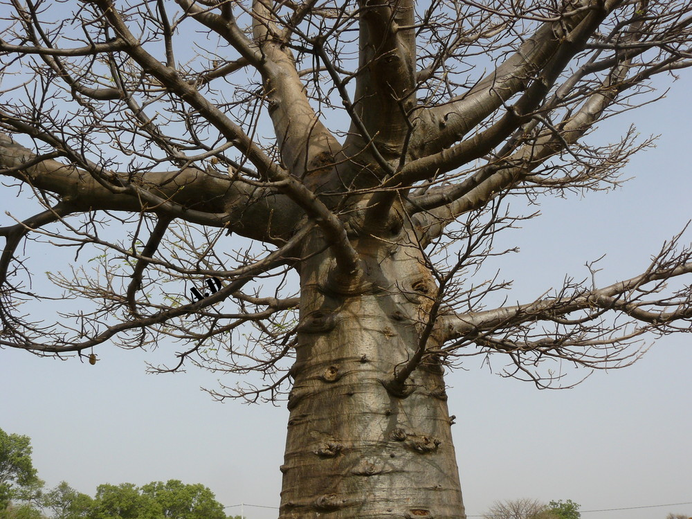 Baobab du Burkina Faso.