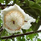 Baobab Flower Power