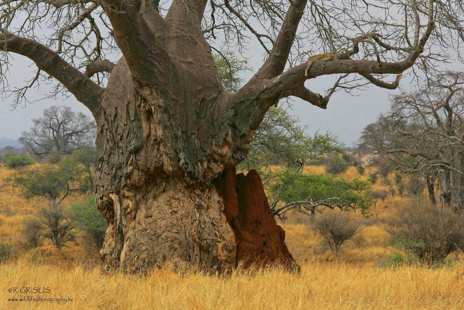 baobab mit leopard foto bild baum natur landschaft bilder auf fotocommunity. Black Bedroom Furniture Sets. Home Design Ideas