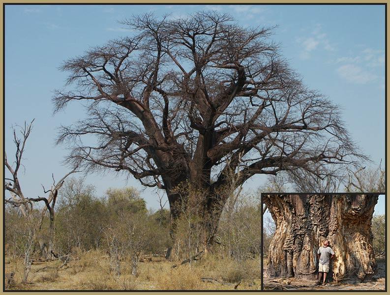 Baobab - Riese