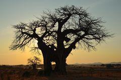 Baobab Sunrise...
