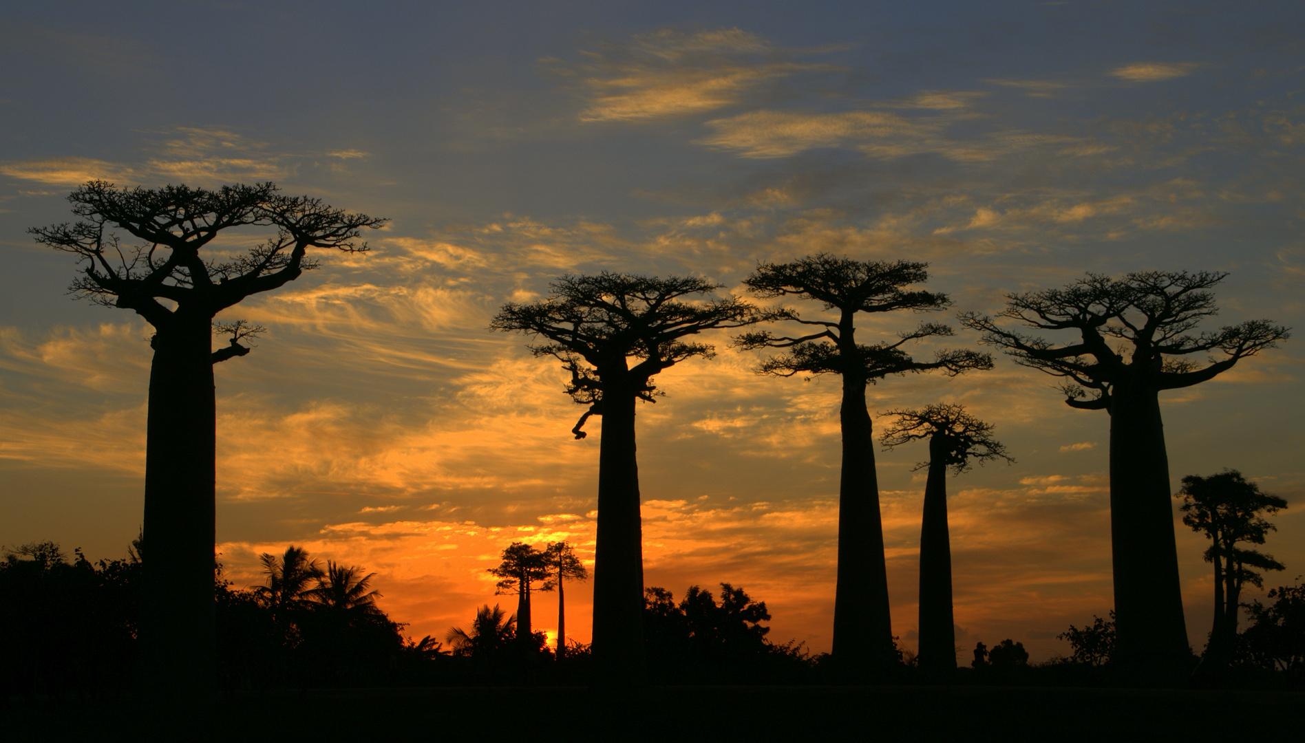 Baobabs im letzten Abendlicht