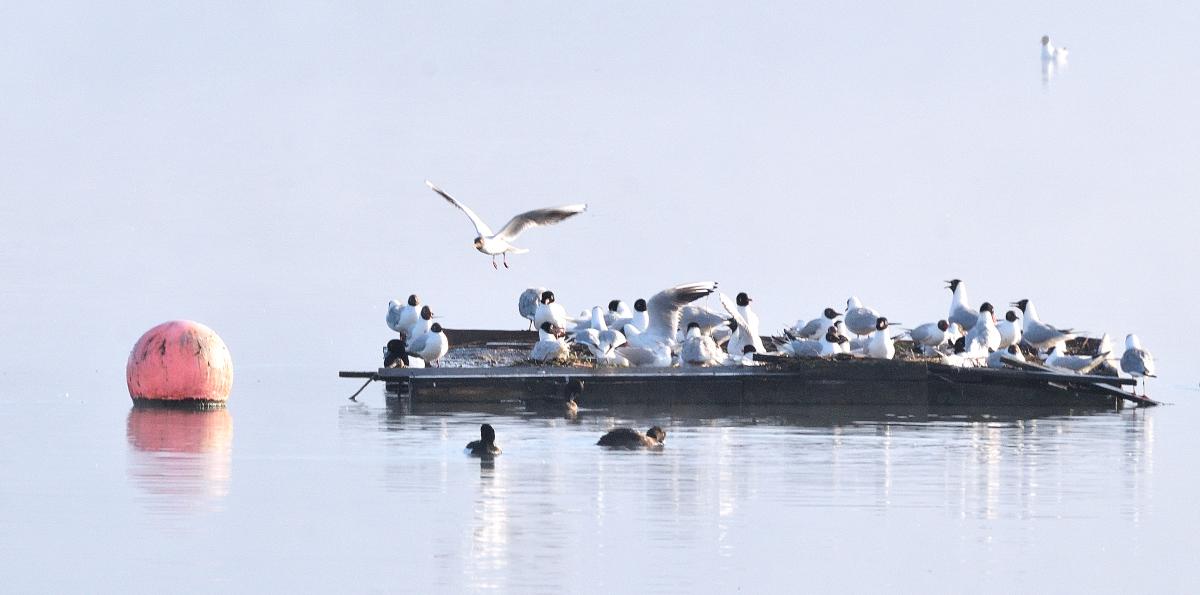 Barge aux mouettes