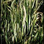 ...barley