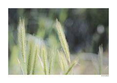 Barley ...