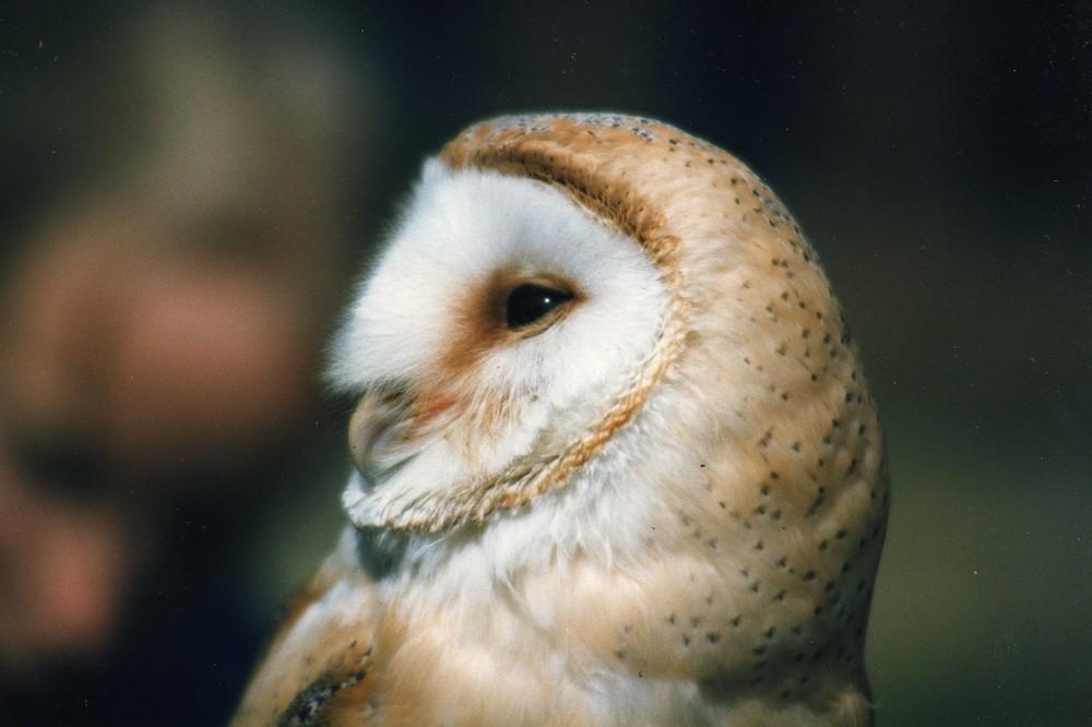 Barn Owl At Muncaster Castle, nr Ravenglass, Cumbria
