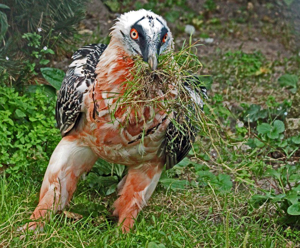 Bartgeier beim Nestbau