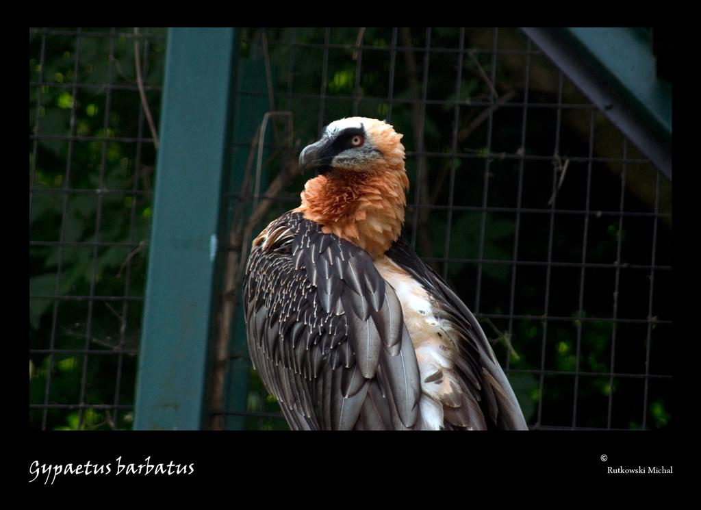 Bartgeier - Zoo Schönbrunn