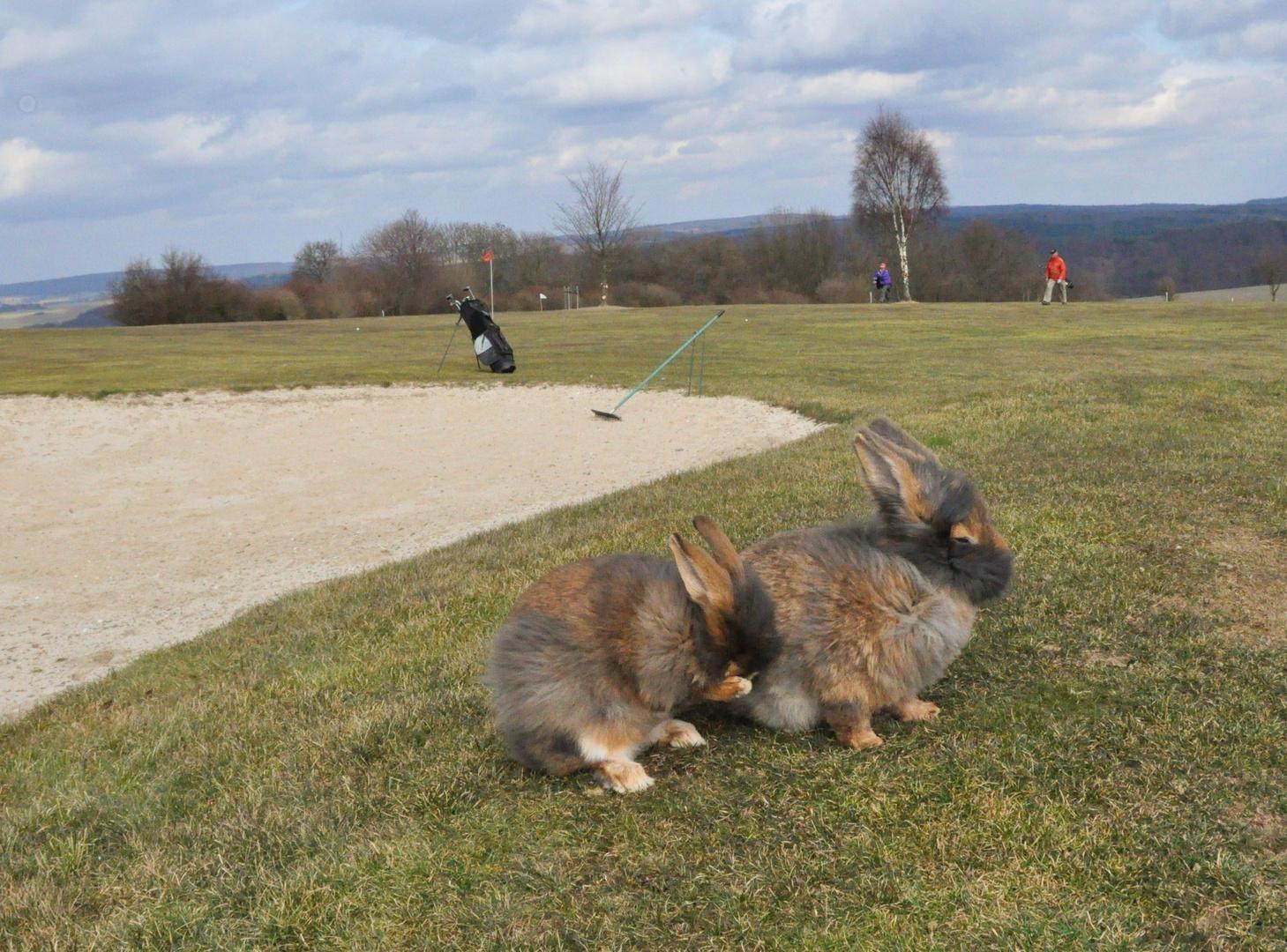 Bartkaninchen 33: Golfplatz
