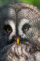 Bartkauz Closeup