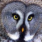 Bartkauz, gran buho gris, great grey owl