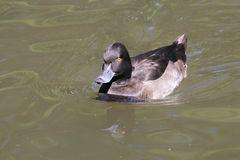 Basel, Tierpark Lange Erlen,  Reiherente (Aythya fuligula), Weibchen