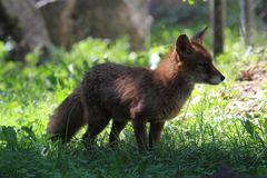 Basel, Tierpark Lange Erlen, Rotfuchs, Vulpes vulpes