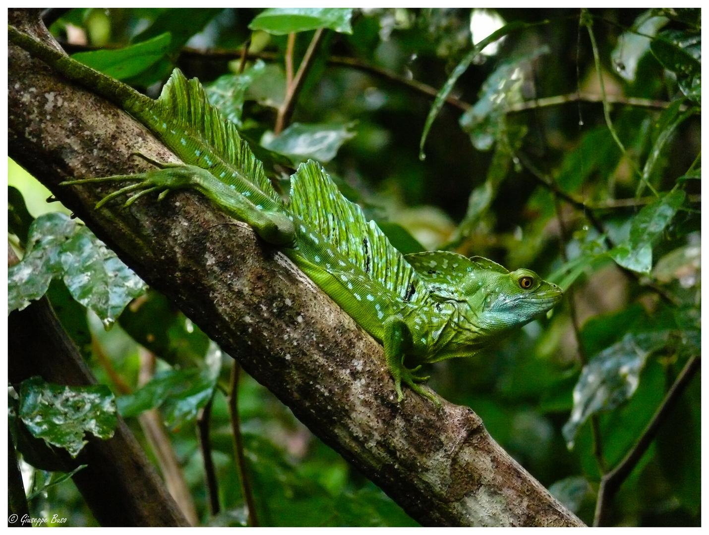 Basilisk in Costa Rica