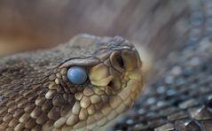Basilisken-Klapperschlange (Crotalus basiliscus)