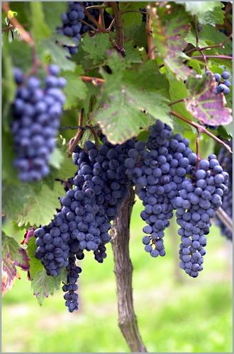 Basis für guten Wein