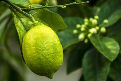 Basler Zitrone