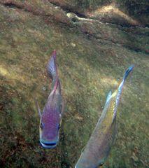 Bassam Khalaf's Tilapia (Oreochromis mossambicus bassamkhalafi Khalaf, 2009)