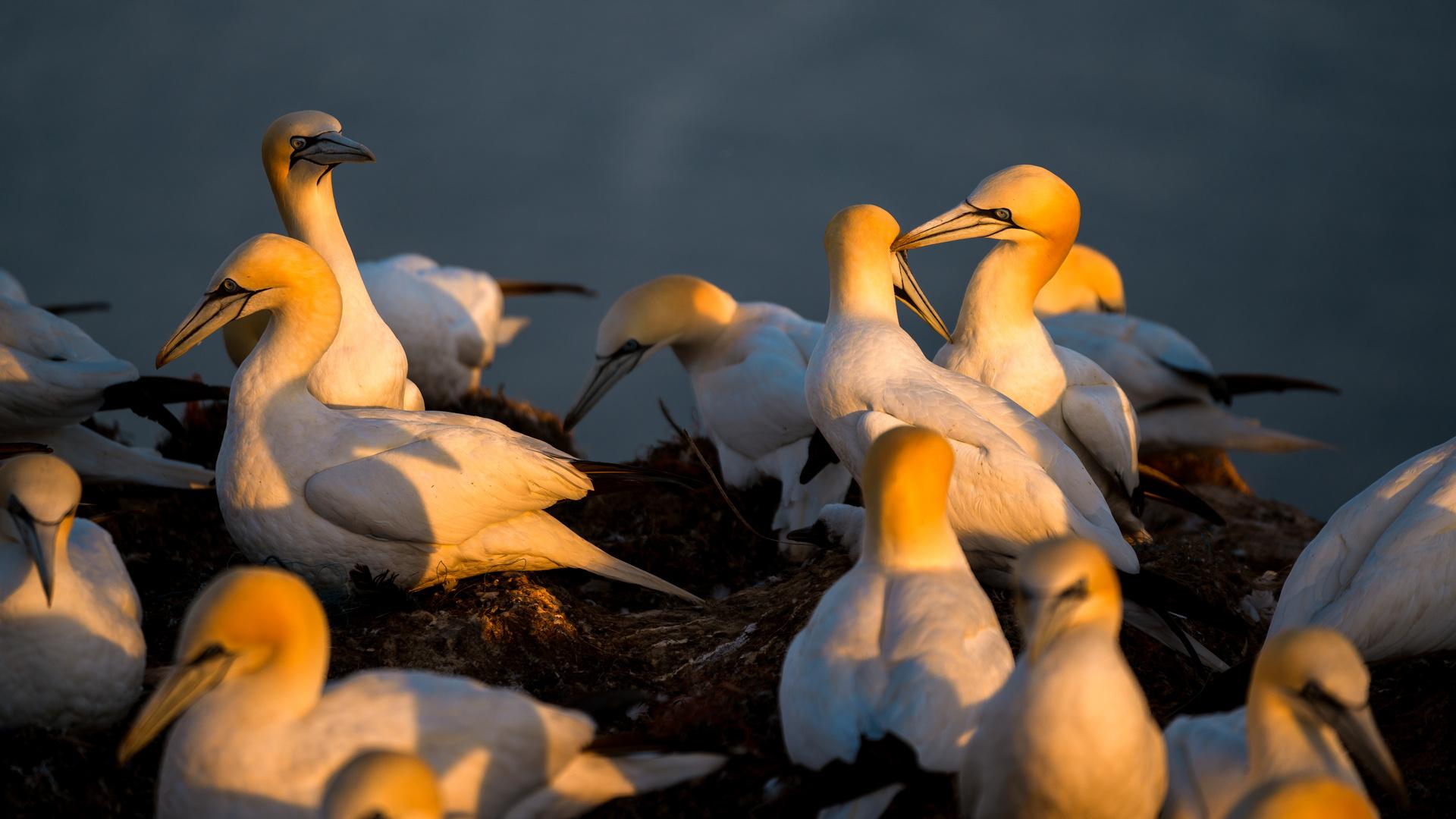 Basstölpel auf Helgoland