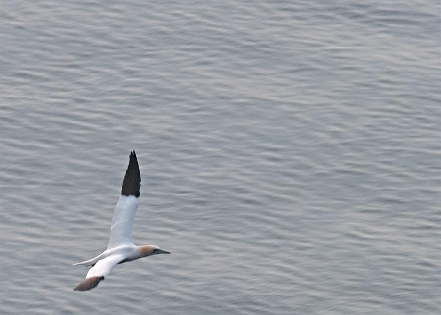 Basstölpel im Nestanflug auf Helgoland