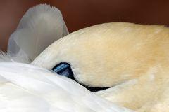 Basstölpel (Morus bassanus) - Gefiederpflege