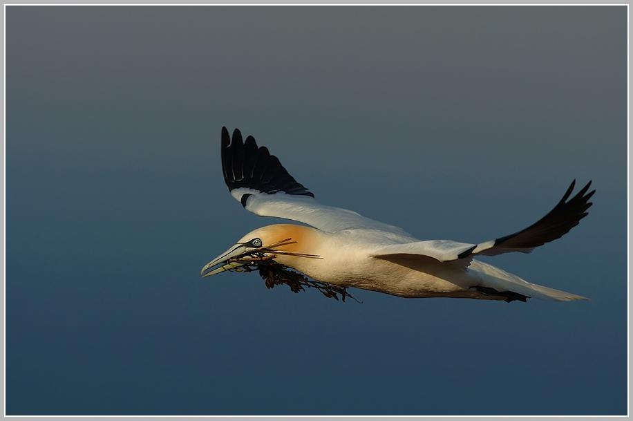 Baßtölpel (Sula bassana), Helgoland Lummenfelsen