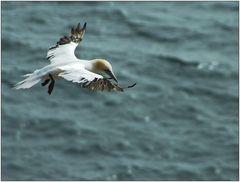... Basstölpel über der Nordsee ...