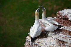 Basstölpelpärchen (Morus bassanus)...