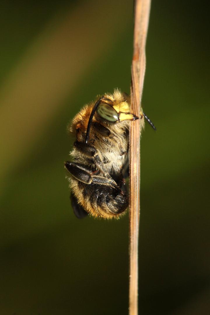 Bastardbiene - Anthidium byssinum - Männchen Foto & Bild | tiere ...