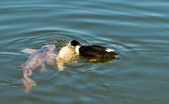 Bastardente beisst Fisch