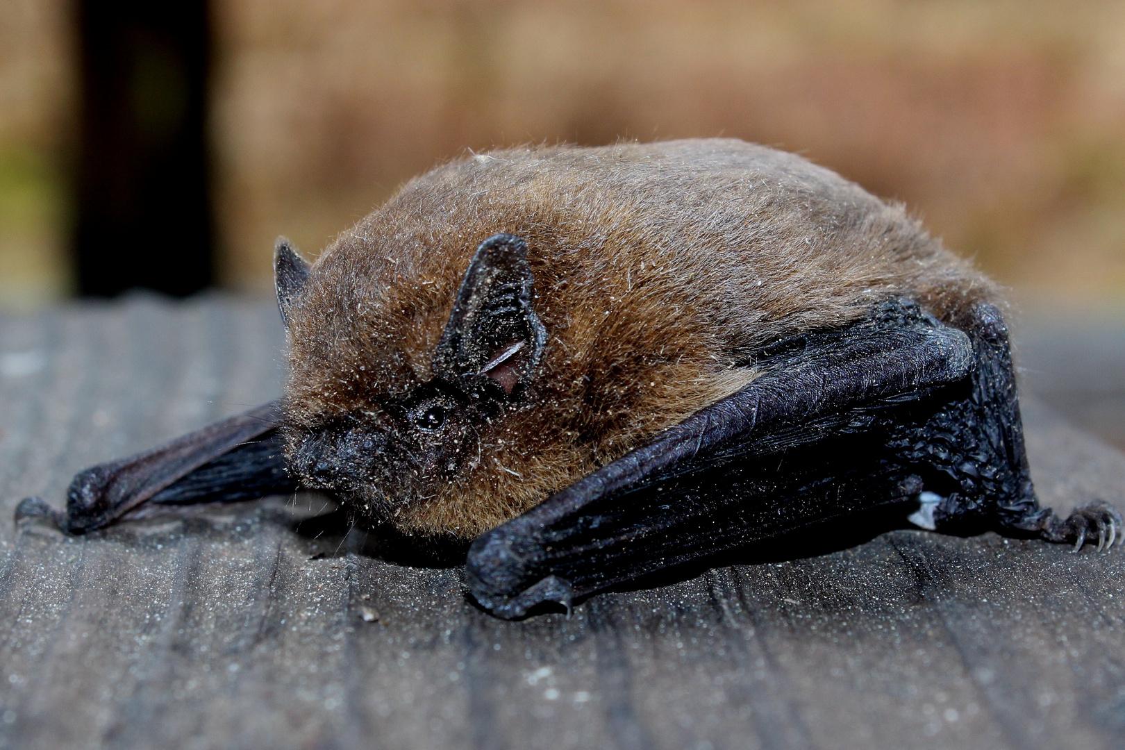 Bat out of Hut